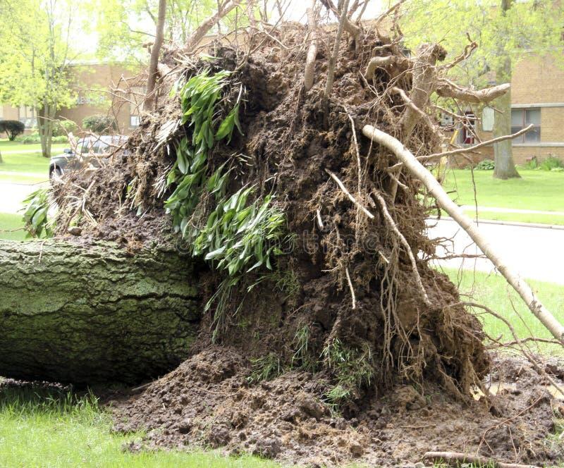 Árvore desarraigada de uma tempestade do vento imagem de stock royalty free