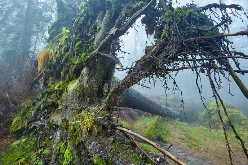 Árvore desarraigada grande na floresta fotografia de stock