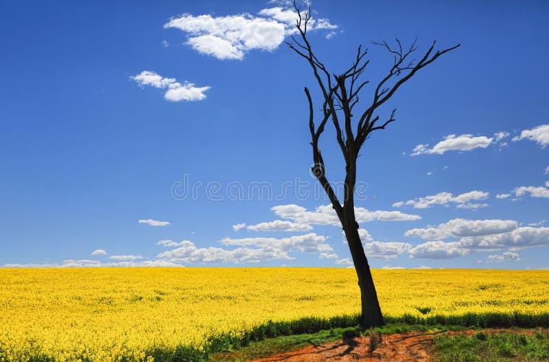 Árvore desencapada e canola dourado na luz do sol da mola imagens de stock