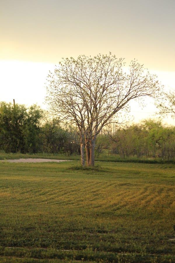 Árvore desencapada grande fotografia de stock