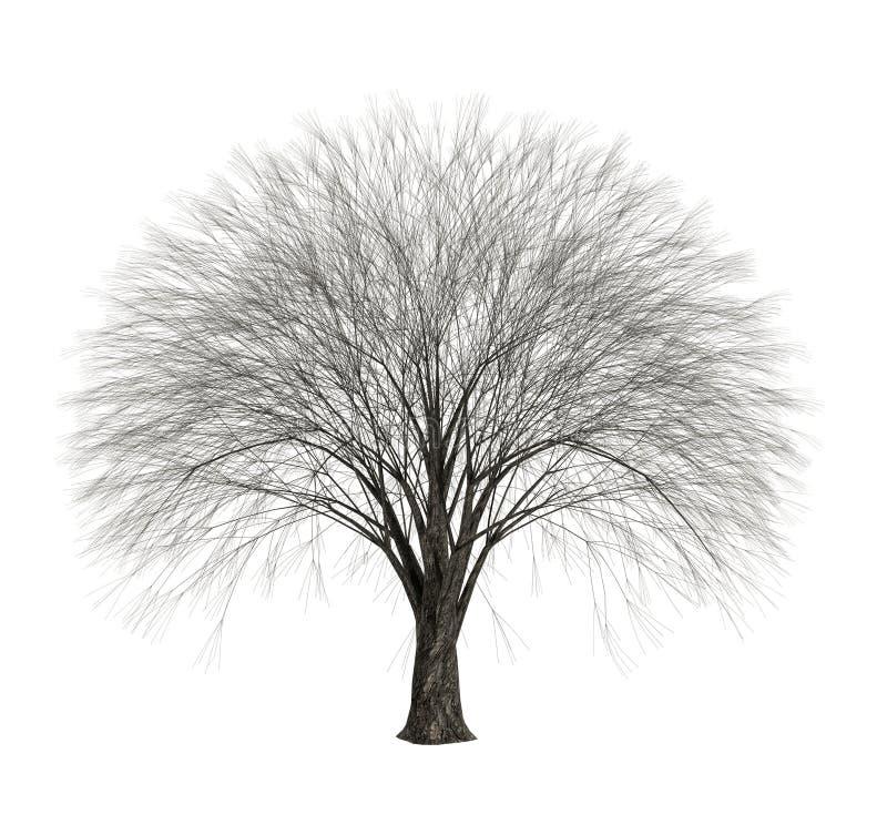 Árvore despida inoperante isolada no fundo branco ilustração royalty free