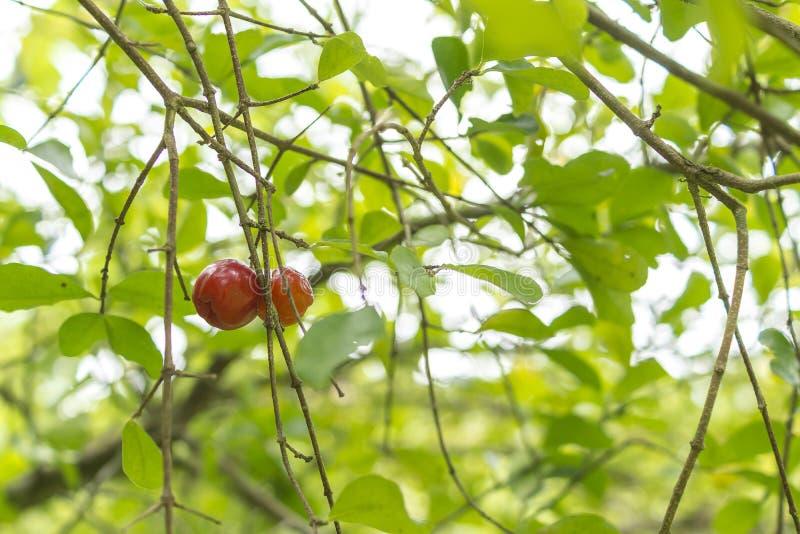 Árvore do Acerola com ramos e frutos fotos de stock royalty free
