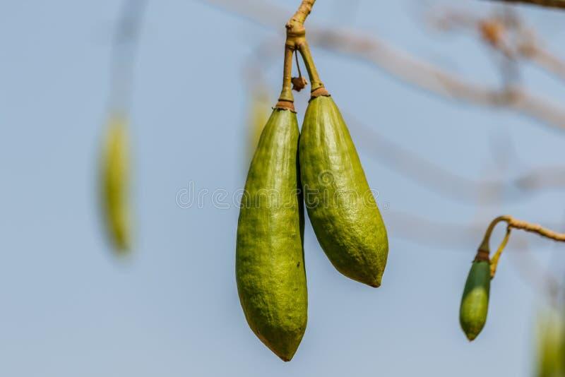 Árvore do algodão de seda com um topete verde do algodão nos leafles imagem de stock royalty free