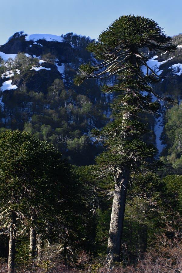 Árvore do araucana da araucária (Pehuen ou Macaco-enigma) foto de stock