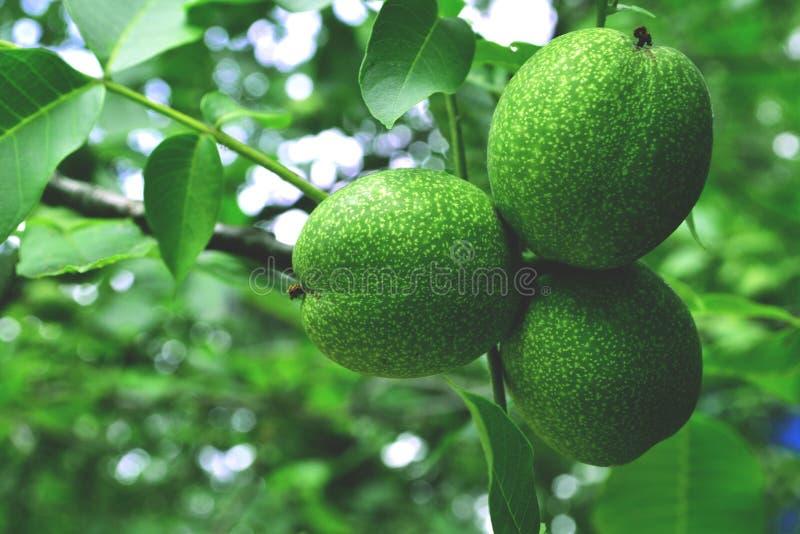 A árvore do arbusto do fruto de árvore da noz sae planta do núcleo verde natureza nuts nova do verão pouco bonito fotografia de stock