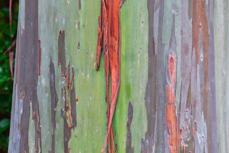Árvore do arco-íris do eucalipto de Havaí imagem de stock