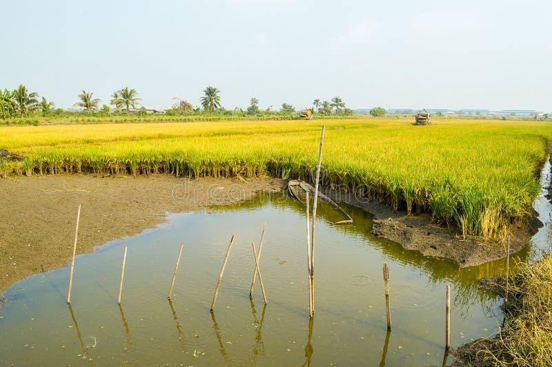 árvore do arroz no campo verde imagens de stock