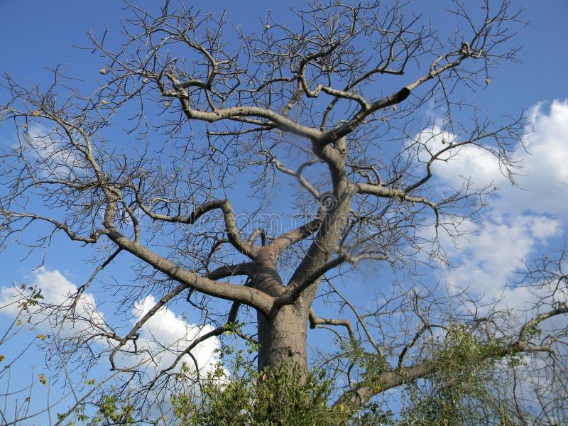 Árvore do Baobab com frutos fotografia de stock royalty free