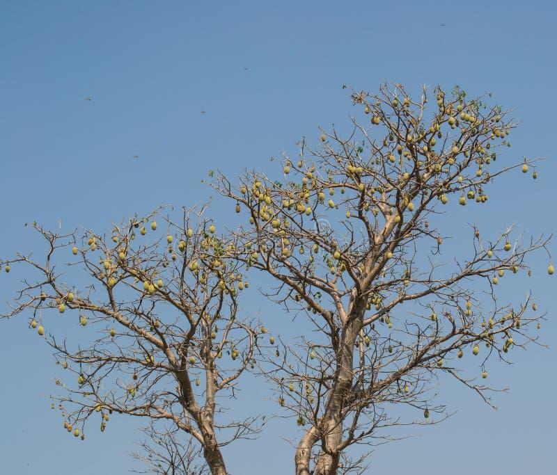 Árvore do Baobab completa com frutos imagens de stock royalty free