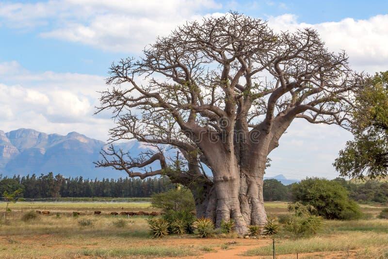 Árvore do Baobab em África fotografia de stock