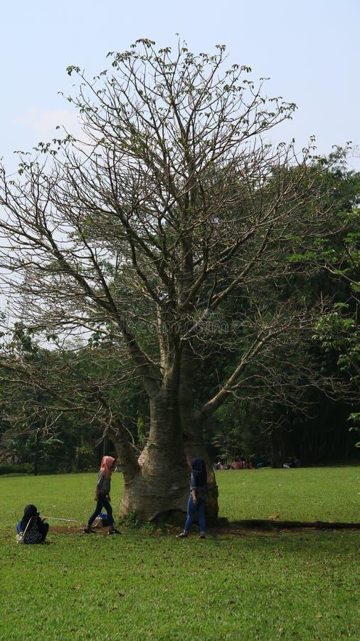 Árvore do Baobab em Bogor fotos de stock