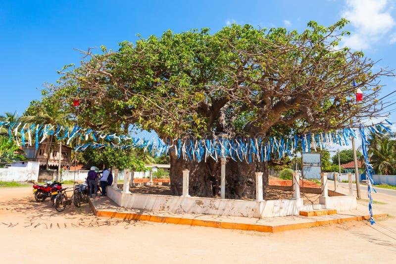 Árvore do Baobab, ilha de Mannar fotografia de stock