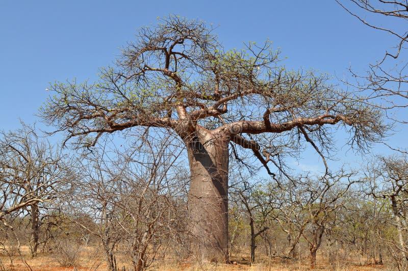 Árvore do Baobab no parque nacional de Musina, África do Sul fotos de stock royalty free