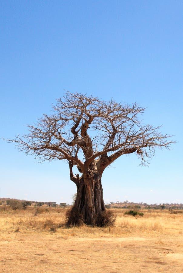 Árvore do Baobab no savana imagens de stock