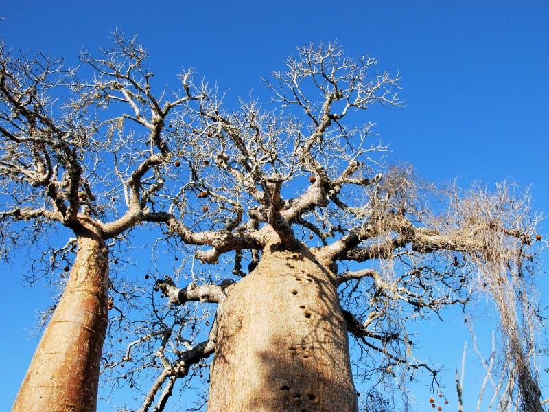 Árvore do Baobab, tronco, ramos com frutos e céu azul fotografia de stock royalty free