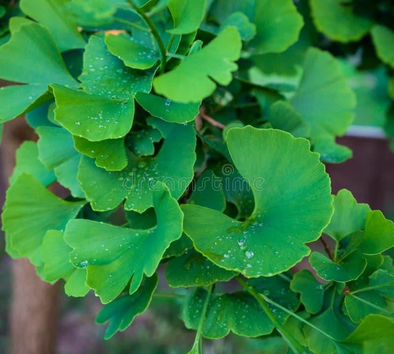 Árvore do biloba da nogueira-do-Japão no jardim do verde da casa fotografia de stock
