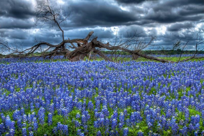Árvore do Bluebonnet fotos de stock royalty free