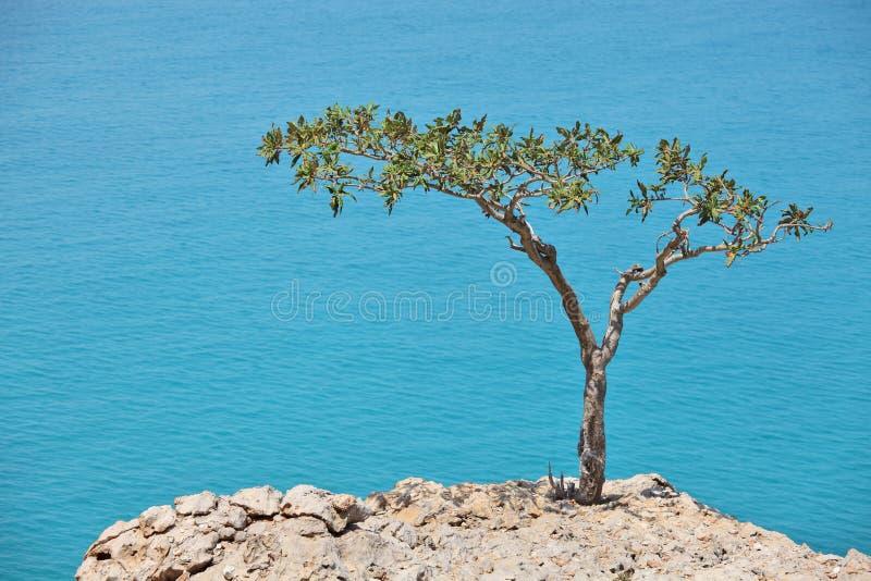 Árvore do Boswellia (árvore do Frankincense) foto de stock