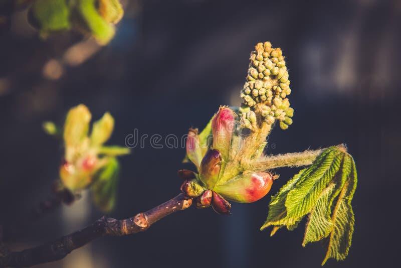 Árvore do botão da castanha na mola fotografia de stock