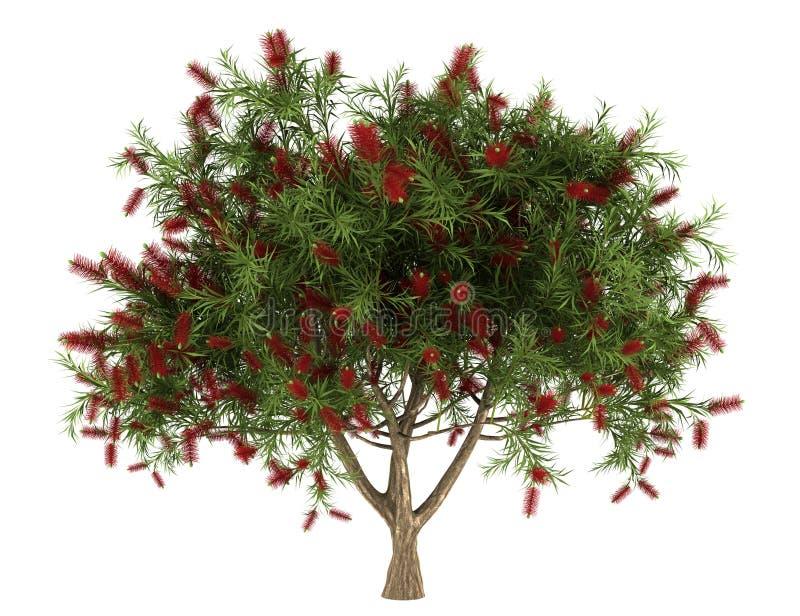Árvore do Bottlebrush isolada no branco fotografia de stock royalty free