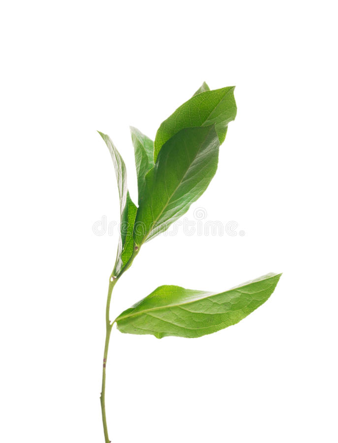 Árvore do broto com as folhas, isoladas fotos de stock royalty free
