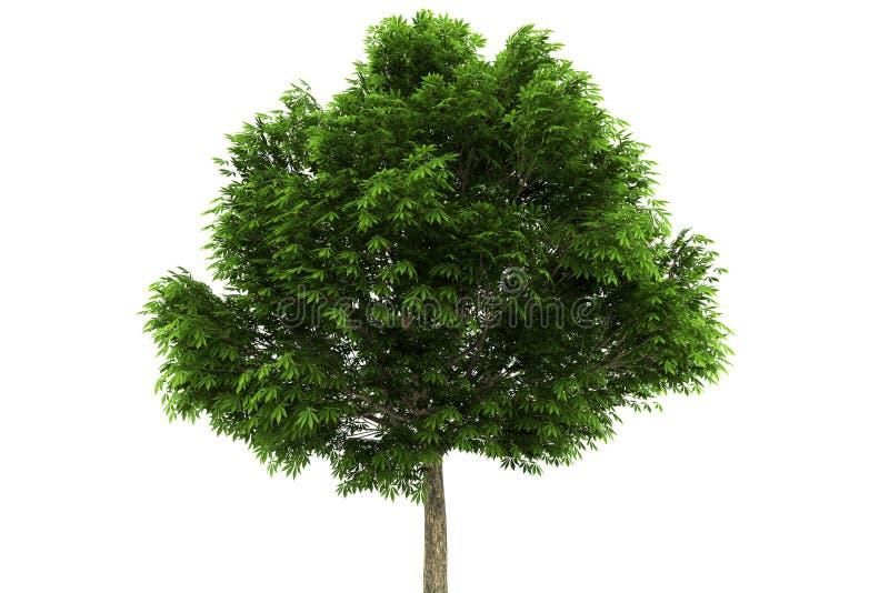 Árvore do Buckeye isolada no fundo branco ilustração do vetor