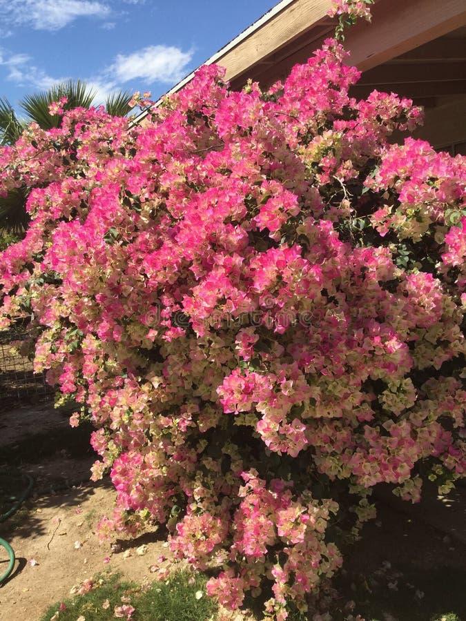 árvore do bugambilia imagens de stock royalty free