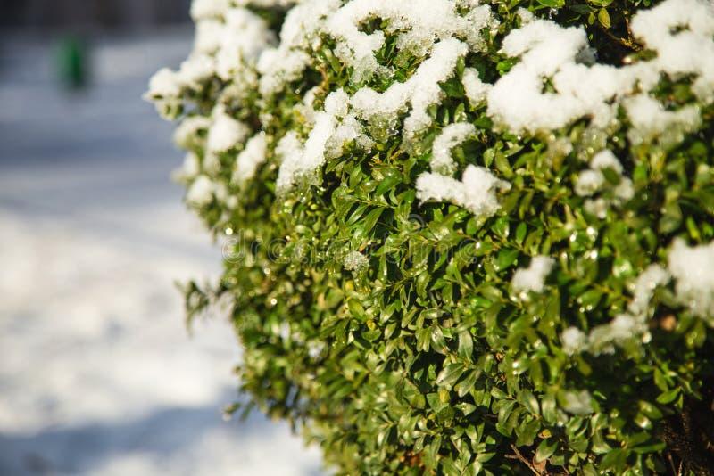 Árvore do buxo coberta com a neve foto de stock