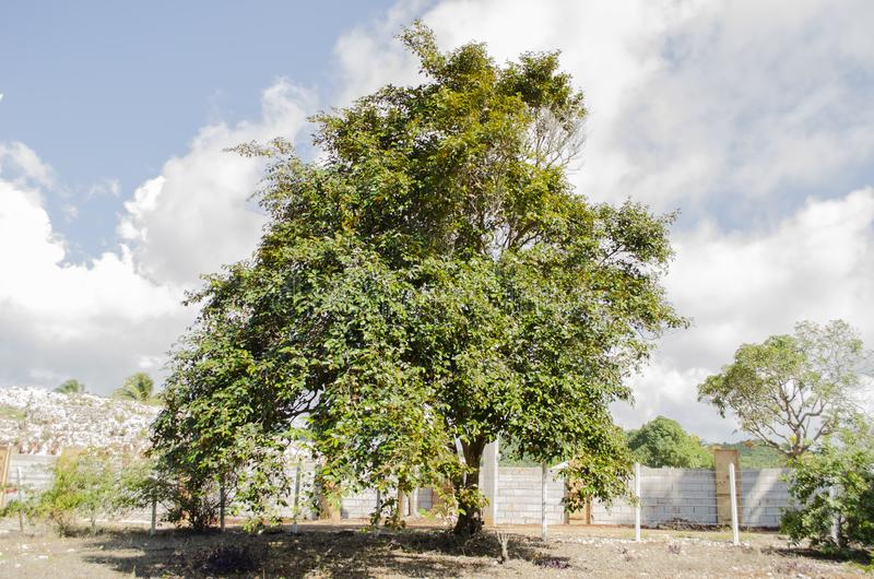 Árvore do Cainito do Chrysophyllum abaixo do céu azul fotografia de stock