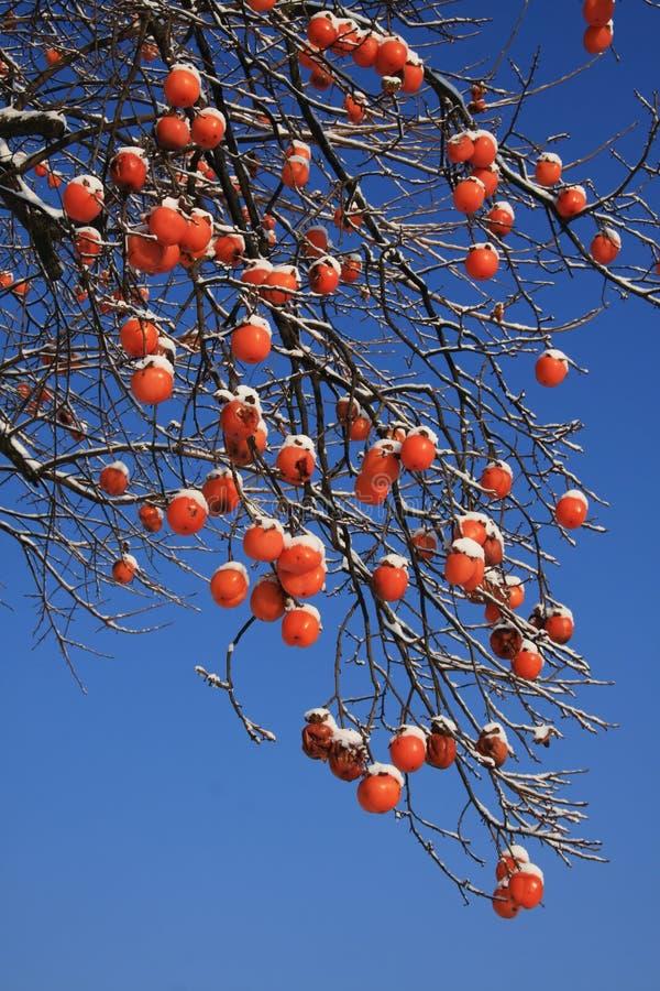 Árvore Do Caqui No Inverno Foto de Stock Royalty Free