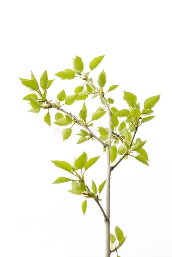 Árvore do chá fotografia de stock