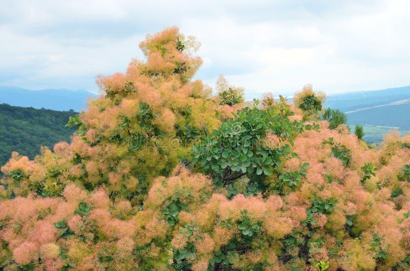 Árvore do coggygria do Cotinus foto de stock royalty free