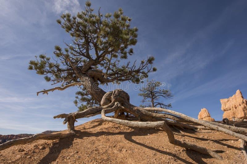 Árvore do cone da cerda fotos de stock