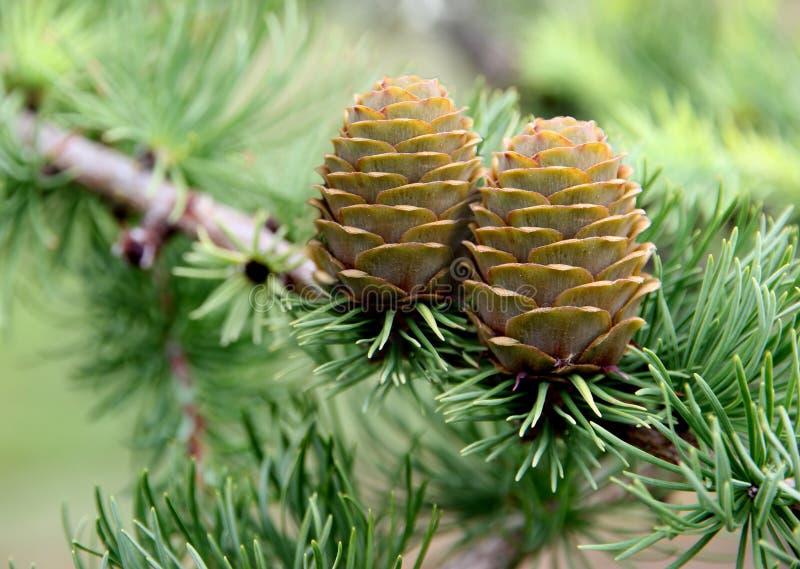 Árvore do cone do pinho fotos de stock