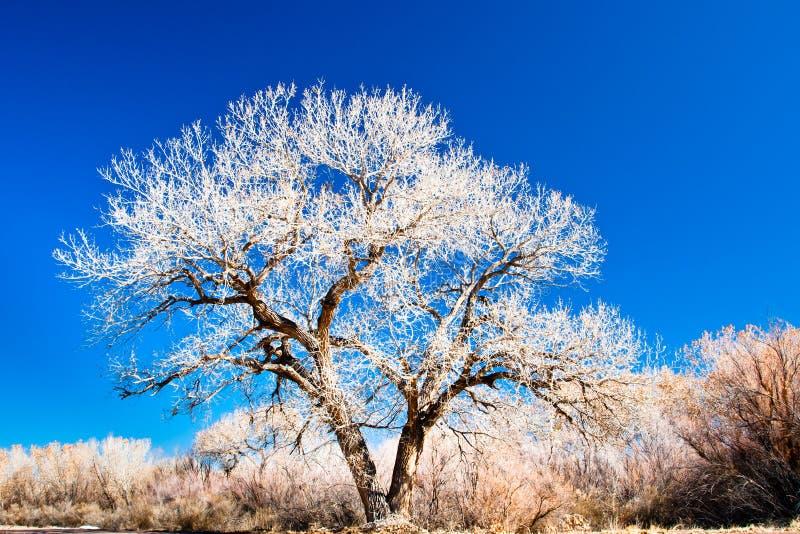 Árvore do Cottonwood imagens de stock royalty free