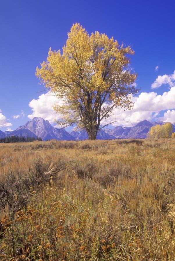 Árvore do Cottonwood no parque nacional grande de Teton, Jackson, Wyoming fotos de stock
