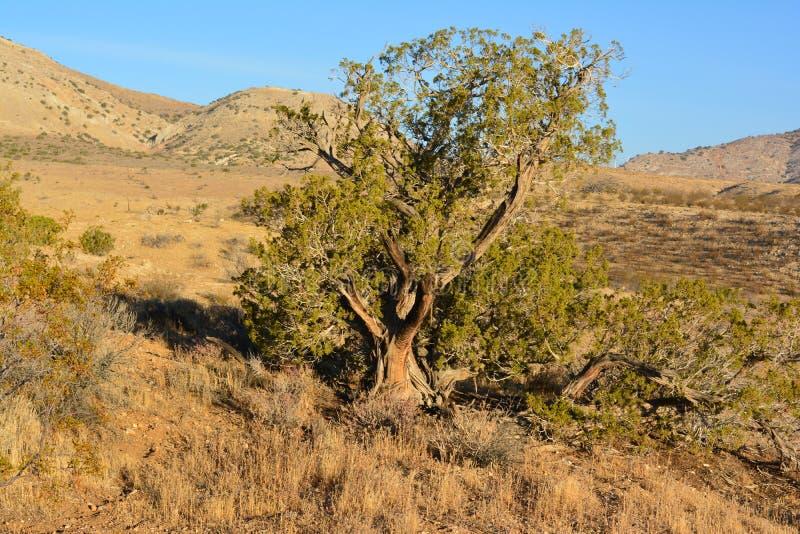 Árvore do deserto fotografia de stock