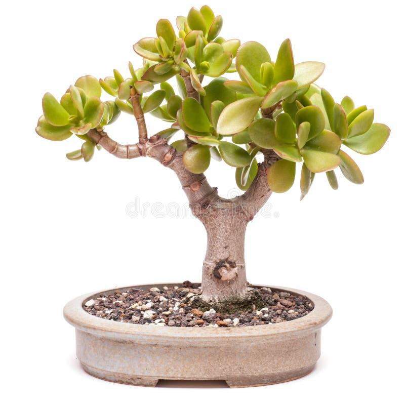 Árvore do dinheiro (ovata do Crassula) como bonsais foto de stock royalty free