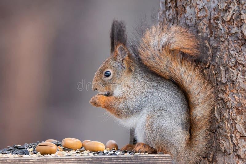 Árvore do esquilo no inverno fotos de stock royalty free
