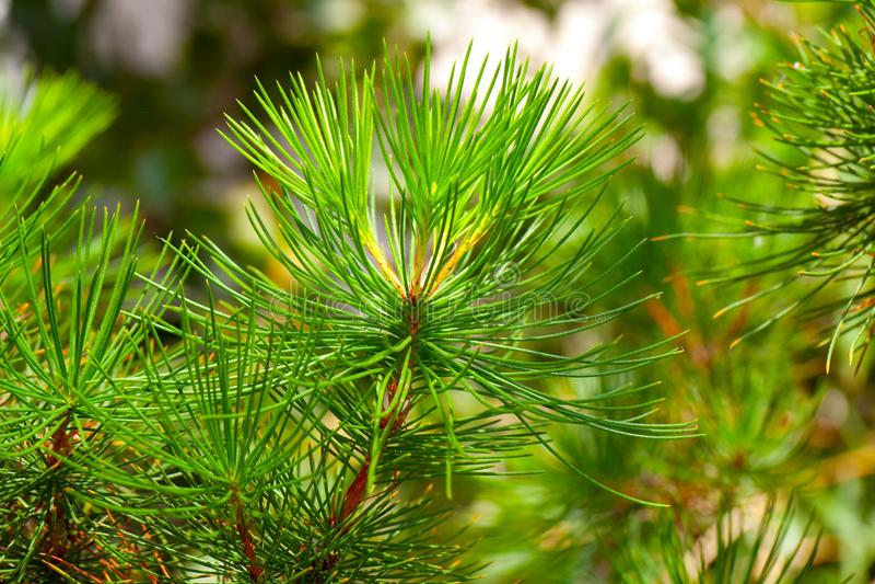Árvore do evergreen das coníferas fotos de stock