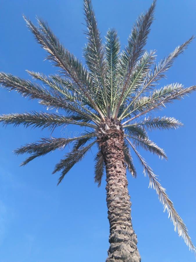 Árvore do favorito de Florida fotografia de stock royalty free