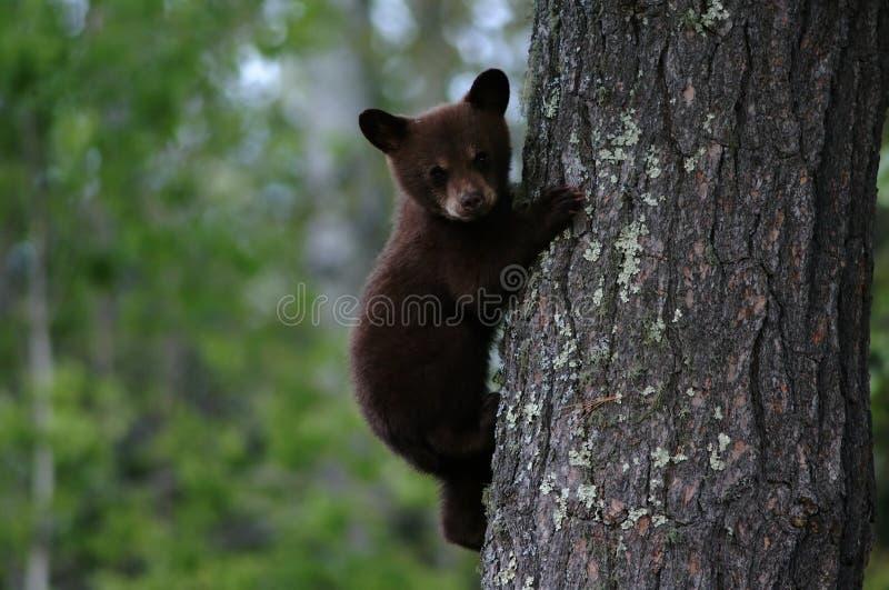 Árvore do filhote de urso preto fotografia de stock royalty free