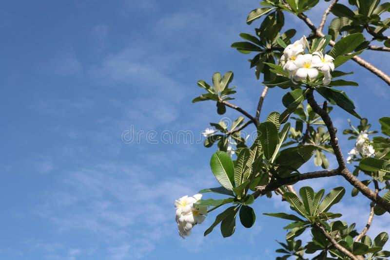 Árvore do Frangipani imagens de stock