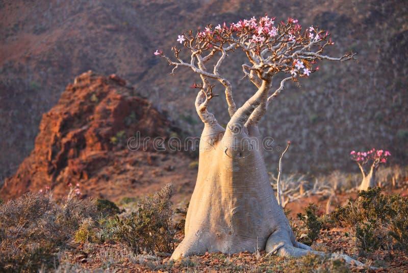 Árvore do frasco - obesum do adenium imagens de stock royalty free