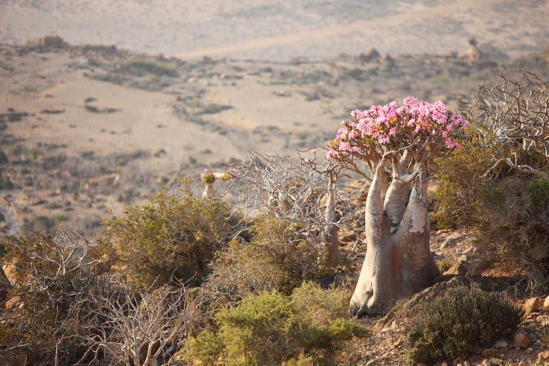 Árvore do frasco, Socotra fotos de stock