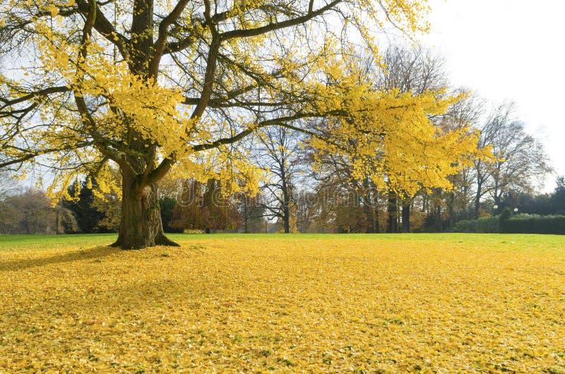 Árvore do Ginkgo imagens de stock