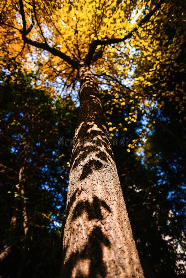 Árvore do Ginkgo foto de stock