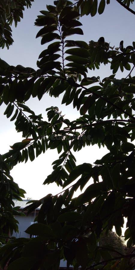 árvore do guavano fotografia de stock