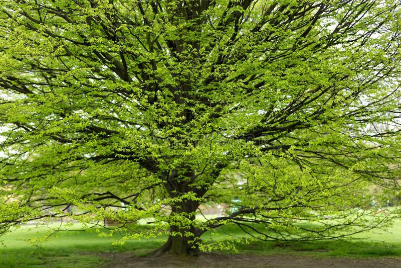 Árvore do Hornbeam na mola fotos de stock