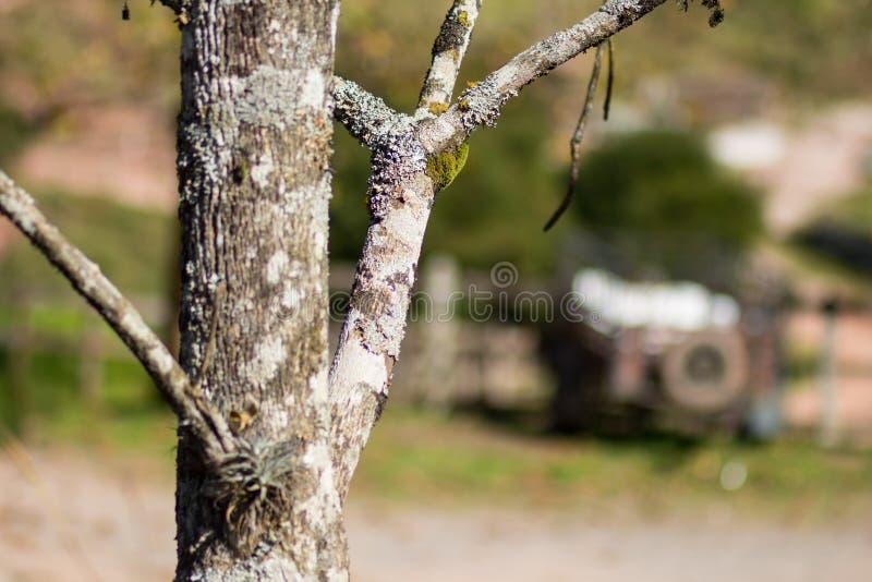 Árvore do inverno - Brasil foto de stock